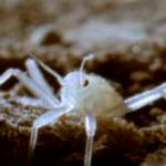 【アサシンバグwiki】ジラフ・アサシンバグはクモをくらう暗殺虫サシガメ